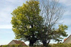Montpinçon, 2016 : le chêne a trois semaines d'avance sur le frêne