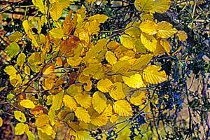 Hêtre feuilles_modifié-1