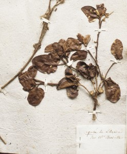 Plante Dierville Muséum détail