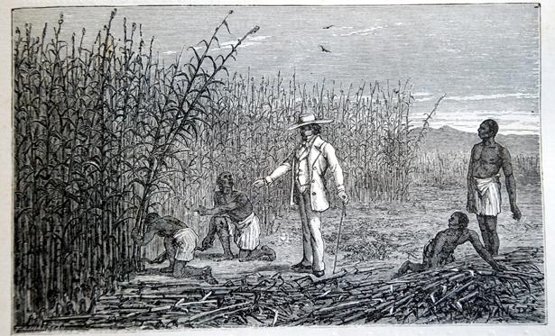 Récolte de la canne à sucre, Plantes utiles , Arthur Mangin, 1886