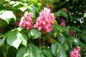 Marronnier rouge, le Mesnil-Bacley