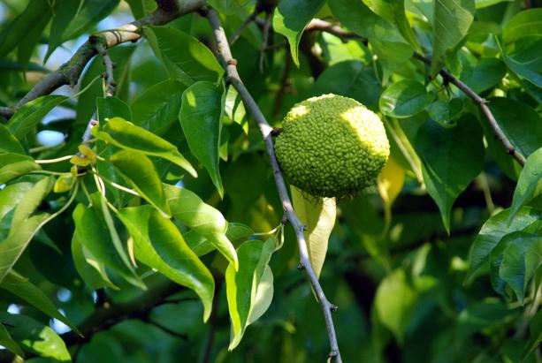 Oranger des Osages, Grandmesnil