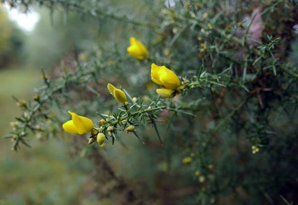 L'ajonc en fleur l'hiver