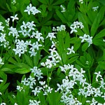 garde-robe-asperule-odorante-fleur
