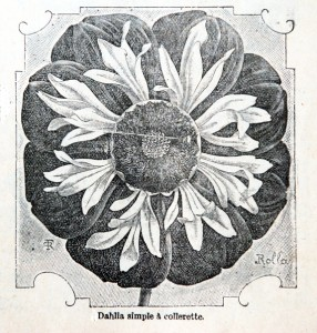 Dahlia simple, catalogue A. Lenormand, Caen 1909